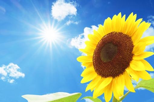 ひまわり 夏空 夏 向日葵 空 青空 快晴 晴天 青天 熱い 季節 雲 植物 自然 猛暑 暑い 暑中見舞い 花 晴れ 真夏 屋外 黄色 夏休み 葉 コピースペース エコ 背景 花びら 素材 酷暑 夏イメージ 緑色 満開 熱 環境 エコロジー 旅行 リゾート eco 明るい 太陽 日光 紫外線 日焼 uv 光 スキンケア グラフィック 日焼け 熱中症