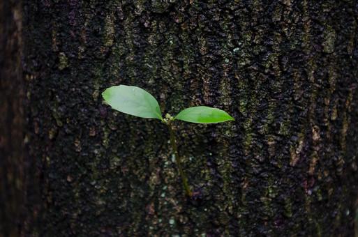 自然 植物 草花 自然素材 背景 背景素材 バックグラウンド 茶色 コピースペース テキストスペース 葉 二葉 双葉 葉脈 生える 葉っぱ 幹 木 樹木 クローズアップ 二枚 成長 枝 環境 エコ