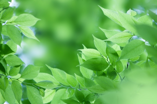 自然 風景 植物 樹木 木の葉 葉っぱ 緑の葉っぱ 新緑 若葉 新芽 新鮮 初夏 初夏イメージ 夏 四月・五月 六月・七月・八月 季節感 暑中見舞い 森林 公園 ポストカード 待ち受け画像 コピースペース バックスペース 爽やかイメージ グリーンバック 木漏れ日 光 光透過光 背景 テクスチャー 目に青葉