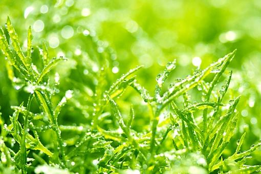 雫 朝露 水滴 輝き キラキラ 玉ボケ 新芽 若葉 ハーブ 緑 グリーン エコ 環境 爽やか 浄化 フレッシュ 新鮮 クリーン 清らか 希望 生命力 美容 健康 癒し ヒーリーング ファンタジック ファンタジー 植物 草 自然