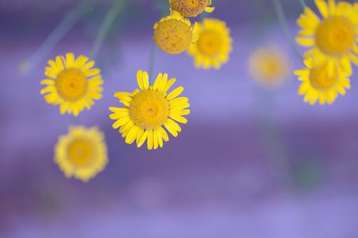 自然 植物 小花 花 花びら 花粉 枯れる しぼむ 黄色 茎 緑 咲く 満開 開く 開花 成長 育つ 伸びる ぼやける ピンボケ 束 密集する 多い 集まる 沢山 無人 加工 室外 屋外 風景 景色 アップ 幻想的
