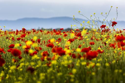 曇り 白い ガス 山 花 草花 自然 環境 エコ 活動 問題 植物 風景 一面 咲き乱れる 赤 黄色 小花 野生 自生 大地 広大 無数 広がる 生命 キレイ 観察 撮影 コントラスト 素材