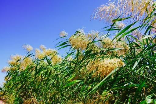 ススキ 秋 あき 秋空 あきぞら 秋の空 あきのそら スカイツリー 青空 あおぞら 青 あお 空 そら blue sky BLUE SKY Blue Sky 風 かぜ