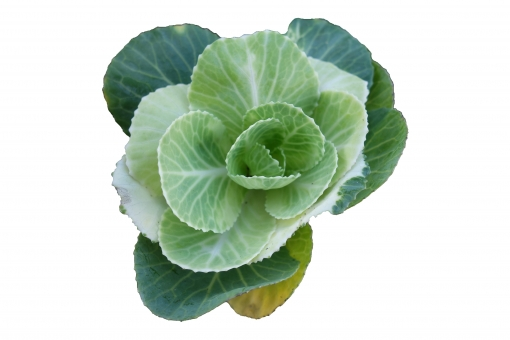 緑の観賞キャベツ(PSDあり)の写真