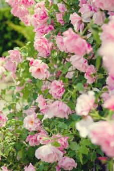植物 自然 花 バラ ばら 薔薇 華やか 豪華 ゴージャス エレガント ローズ ローズガーデン 背景 壁紙 バラ園 薔薇園 花園 庭 公園 ブライダル ウエディング 結婚式 結婚 ピンクの花 ピンク つるバラ 蔓バラ 蔓薔薇