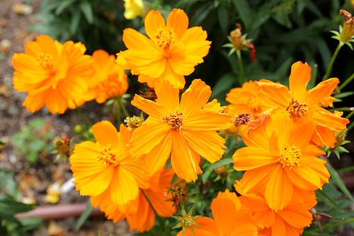 花 キバナコスモス 植物 フラワー 種子植物 花弁 花びら 生花 葉 葉っぱ 緑 草 6月7月8月9月10月 11月 自然美 幼い恋心 一年草 橙色の花 コスモス 黄花コスモス だいだい色の花 きばなコスモス