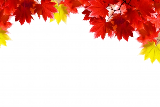 白背景 植物 日差し ナチュラル 赤 風景 景色 木 コピースペース 白 葉 自然 林 枝 素材 背景 森 環境 余白 日本 バックグラウンド 森林浴 風流 穏やか 秋 もみじ 紅葉 楓 壁紙 イメージ 季節 カエデ モミジ ポストカード バック 切り抜き 鮮やか テキストスペース 文字スペース 紅 紅葉狩り かえで 四季 ベース 背景画像 フリー 下地 フリー素材 web素材 抜き