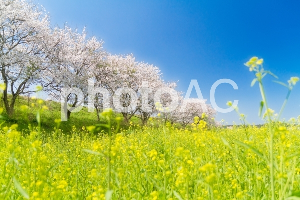 桜と菜の花の写真