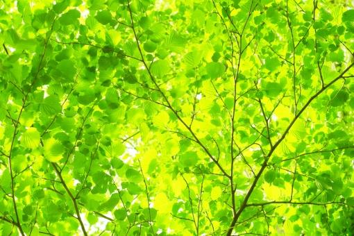 自然 夏 初夏 新緑 緑 エコ 若葉 葉 輝き 5月 クリーン 空気 クリーンイメージ 光 透過光 待ち受け ポストカード コピースペース 清潔感 澄んだ空気 眩しい バックグランド 植物 木漏れ日 木洩れ日 太陽 日 黄緑 明るい 山 林 葉っぱ 木の葉 木葉 はっぱ 爽やか 木の枝 小枝 風景 木 樹木 森 グリーン エコロジー 環境 eco eco 森林 森林浴 森林セラピー いやし リラックス リラクゼーション やすらぎ 安らぎ マイナスイオン 健康 背景 背景素材 テクスチャ テクスチャー バックグラウンド 3月 4月 5月 6月 7月 8月 春 癒し きらめき キラメキ 優しさ やさしい 優しい