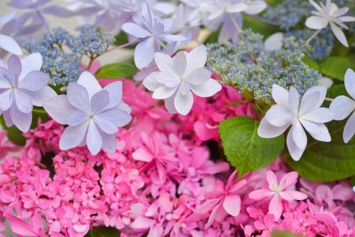 アジサイ あじさい 紫陽花 ダンスパーティー 新種 八重咲きガクアジサイ ピンク 植物 花びら 花 葉 背景素材 母の日 バレンタイン 結婚 記念日 祝福 お祝い