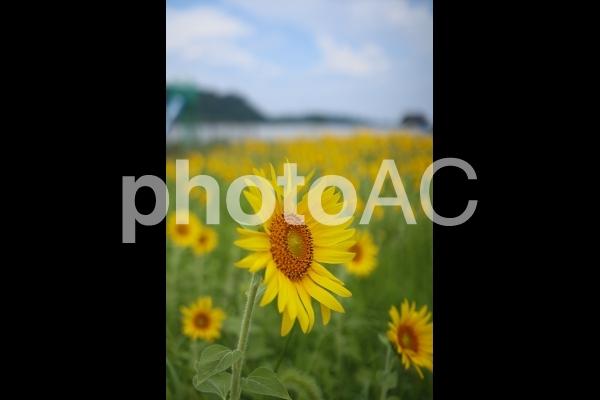 向日葵の写真