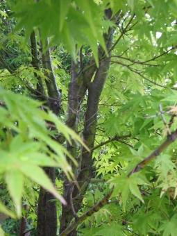 新緑 緑 みどり かえで かえでの葉 葉っぱ 枝 深緑 癒し 風 そよ風 ゆらめき ゆらゆら ユラユラ 木 葉 若葉 青葉 森林 林 自然 夏 初夏 緑色 リラックス リラクゼーション 環境 エコ 美容 植物 フレッシュ ある会 さわやか 爽やか 清涼 樹木 マイナスイオン 森林浴 空気