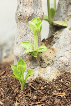 植物 自然 茎 枝 葉 緑 野生 自生 アップ クローズアップ ぼかし 樹皮 樹木 樹 木 新芽 幹 伸びる 葉っぱ 若葉 植木 木肌 土 鮮やか