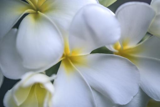 自然 植物 花 白い花 プルメリア ハワイ ハワイアン フラダンス レイ 夏 夏の花 真夏イメージ トロピカル バケーション 旅行イメージ 二人の夏 夏の誘い 夏の思い出 夏休み 季節感 暑中見舞い ポストカード 待ち受け画像 コピースペース バックスペース 背景 背景素材 テクスチャー 常夏イメージ 南の島 常夏の島 憧れの花 眩しい夏 太陽 光溢れる 光を浴びて 光透過光 みずみずしい花 爽やかイメージ デザイン素材 グラフィック素材 休暇 新鮮イメージ パステルカラー カクテルカラー 真夏 常夏 南国イメージ