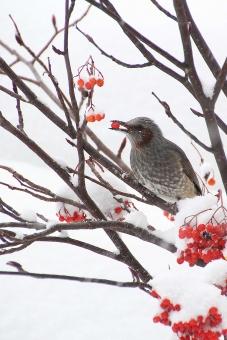 好物のナナカマドの実が大雪に埋もれた朝の写真