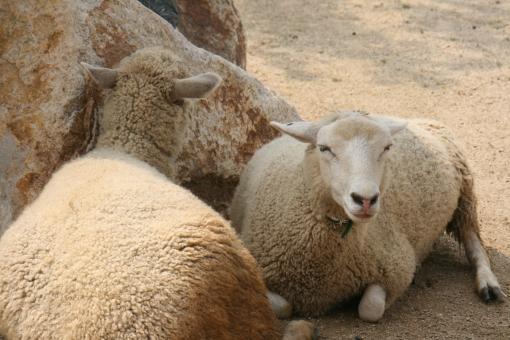 ヒツジ ひつじ 羊 羊の群れ ヒツジの群れ ひつじの群れ 動物 草食動物 羊飼い