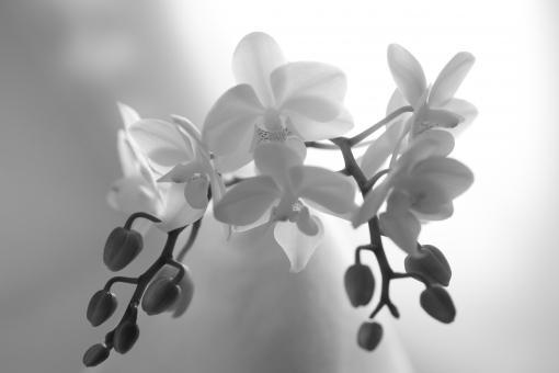 蘭 花びら 透け感 優しい 花 植物 モノクロ 白黒 白 黒 喪中 弔辞 喪中ハガキ 案内状 お悔やみ ハイトーン 照明 明るい ハガキ