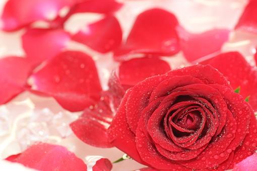 ばら バラ 花 花びら 水 愛 美 愛情 情熱 熱烈な恋 植物 フラワー 種子植物 花弁 花びら 生花 赤い花 5月 6月 10月 11月 水滴 滴 しずく ローズ レッドローズ 散らばる