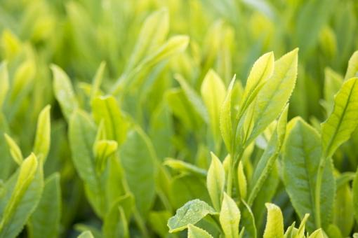 茶 茶の芽 新茶 日本茶 煎茶 茶畑 朝露 朝 日本 和 八十八夜 新緑 五月 5月 greentea