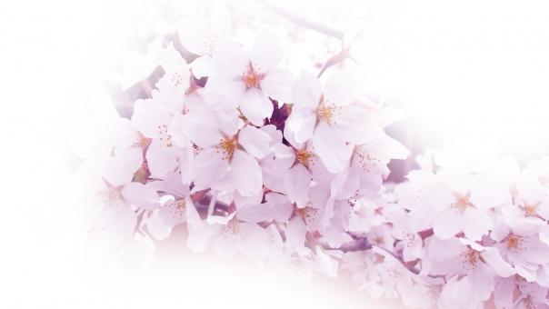 桜 サクラ さくら cherry blossom 満開 花 華 花見 お花見 卒業 入学 入社 春 幸 祝 福 可憐 清楚 和 ピンク 紅 光 植物 自然 風景 説明
