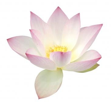 切り抜き キリヌキ パス クリッピングパス 切抜き マスク パーツ 花 花素材 切り取り キリトリ 素材 デザイン素材 デザインパーツ 合成 合成用 夏 初夏 夏の花 初夏の花 ヨガ ヒーリング いやし 癒やし 生命 誕生 聖 仏教 ハス 蓮 はす 美 華麗 おおぶり 大きい はすの花 ハスの花