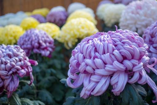 「大菊 フリー画像」の画像検索結果