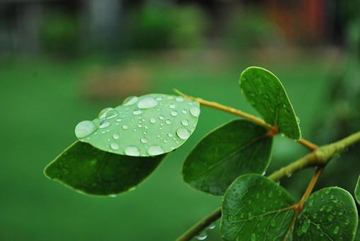 パキスタン 外国 熱帯 南国 南アジア 葉 葉っぱ 緑 茎 水玉 水 透明 映る 反射 自然 植物 雨 雨粒 木 樹木 成長 育つ 伸びる 新緑 みずみずしい 若々しい 綺麗 アップ 風景 景色 無人 ぼやける ピンボケ