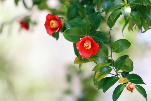 ツバキ 赤い花の写真