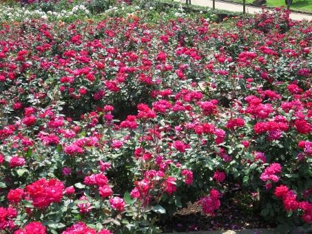 赤 レッド 赤色 バラ 薔薇 ローズ 植物 花 棘 緑 一面 開花 6月の誕生花 夏の季語 鑑賞 園芸 ガーデニング 栽培 庭園 バラ園 公園 花壇 花園 ローズガーデン 自然 綺麗 華やか 鮮やか 上品 気品 6月 六月 五月 5月 背景素材 背景