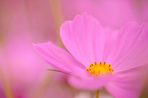 秋の風景 コスモス アキザクラ 秋桜 花びら 花弁 花畑 花園 ピンク 黄色 アップ 接写 一輪 植物 花 草花 散歩 散策 自然 風景 景色 真心 のどか 鮮やか 美しい 綺麗 明るい ボケ味 ピントぼけ ぼかし