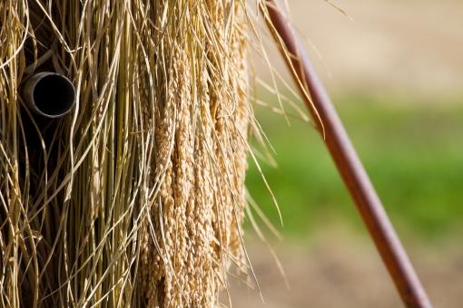 イネ 稲 ハザカケ はぜかけ はざかけ米 コメ こしひかり コシヒカリ 農業 稲作 天日干し 秋 刈入れ 稲刈り 食べ物