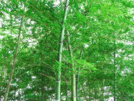 竹林 竹 和 和風 日本 葉 葉っぱ 竹の葉 涼しい 涼 初夏 晩春 春 夏 生い茂った 青々とした 背景 バック バックグラウンド テクスチャー テクスチャ 日本的 侘び 寂 静寂 閑静 落ち着く 落ち着き 七夕 日本庭園 風流 緑 グリーン 成長 生命力 風景 自然 植物 景観