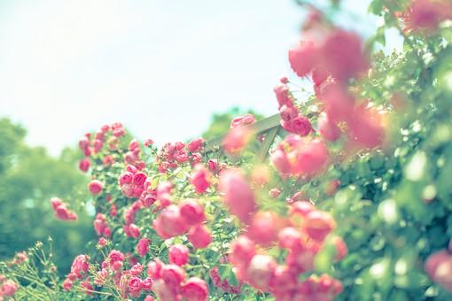 植物 葉っぱ リーフ  花 花びら 花弁 被子植物 フラワー  自然 ナチュラル ネイチャー バラ 薔薇 ローズ 5月 6月 ブライダルピンク 愛している 愛 美 緑 グリーン 葉 空 ぼけ ぼかし ぼやける ピント