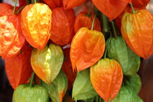 植物 赤 朱色 縁日 お祭り おまつり 夏祭り 風 和風 日本 ほおずき市 ほおずき 風鈴 夏 涼 小物