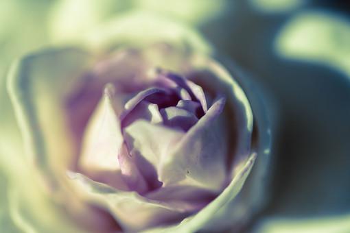 自然 植物 花 花びら 白 ピンク 桃色 紫 淡い 綺麗 可愛い 美しい 華やか 重なる 咲く 開花 開く 成長 育つ 綻ぶ つぼみ ぼやける ピンボケ アート 加工 無人 光 陽射し バラ 薔薇