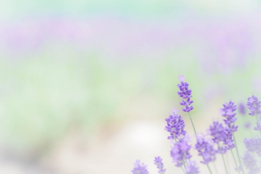 ラベンダー色の風が吹いての写真