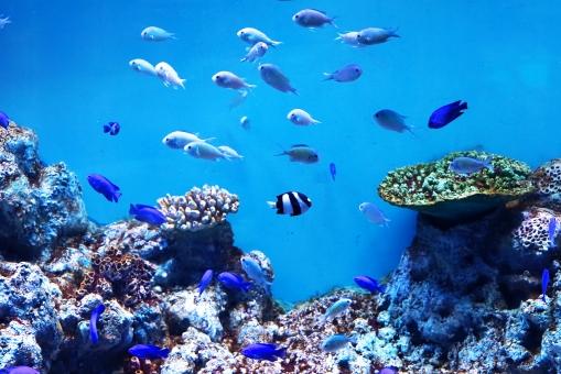 海 動物 水族館 魚 生物 水槽 海水魚 魚類 海の生物 観賞魚 蓑笠子 野生 野生生物 生き物 鳥類 北海道 自然 ネイチャー 野生動物 素材 さかな 水中 きれい キレイ カラフル あつい かさご 海中 すいちゅう アップ マクロ アクア 熱帯 熱帯魚 海洋 海中生物 海洋生物 あお 青 青色 コピースペース ハガキサイズ くらげ クラゲ 水母 泳ぐ
