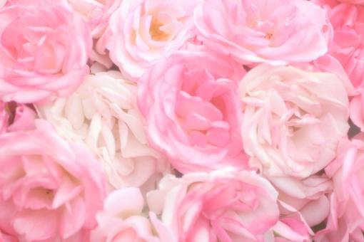 淡いピンクの薔薇 背景 1の写真
