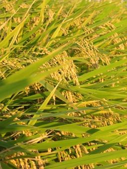 稲穂 稲 実り 秋 お米 豊作 秋のみのり 収穫 おこめ 米 実りゆたか 実り豊か 黄金色 秋の実り 実りの秋 収穫の秋 田 田んぼ 畑 農耕地 耕作 農業 育つ 土地 いなほ 環境 自然 秋の景色 秋の風景 シーズン イメージ 季節 ナチュラル