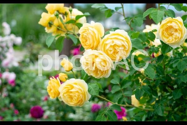 黄色やピンクのバラが満開のローズガーデンの写真