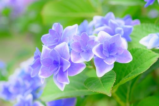 紫陽花 アジサイ あじさい 八重 八重咲き 花びら 重なる 花 植物 初夏 梅雨 5月 6月 7月 紫 白 縁取り 可愛い 壁紙