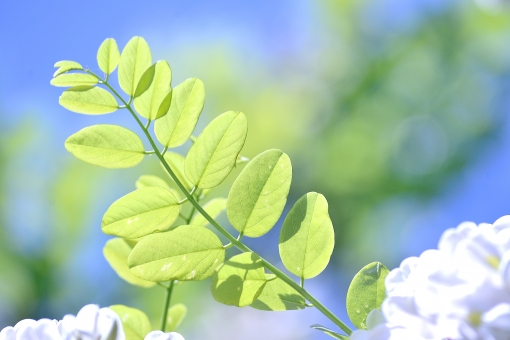 青空 白い花 透過光 ひかり 影 自然 植物 風 そよ風 波 空気 流線 木漏れ日 木洩れ日 太陽 日 黄緑 新緑 明るい 山 林 葉っぱ 木の葉 木葉 はっぱ 爽やか 木の枝 小枝 風景 木 樹木 森 グリーン エコ エコロジー 環境 eco eco 森林 森林浴 森林セラピー いやし リラックス リラクゼーション やすらぎ 安らぎ マイナスイオン 健康 美容 背景 背景素材 テクスチャ テクスチャー バックグラウンド 5月 6月 7月 8月 9月 10月 夏 緑 春 初夏 癒し きらめき キラメキ 優しさ やさしい 優しい