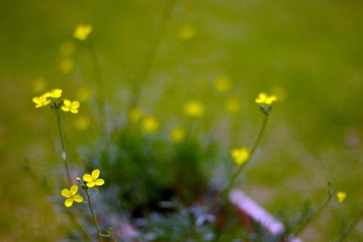 セルバチコ 花 黄色い花 ルッコラ ハーブ イタリア料理