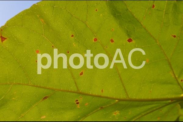 葉っぱの裏側の写真