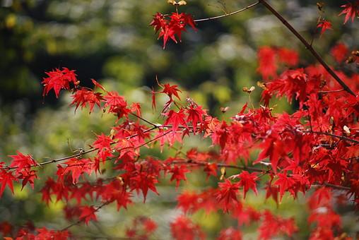 紅葉 もみじ 葉 楓 植物 木 赤色 オレンジ 色鮮やか 自然 屋外 アップ 晴れ 秋 木々 風景 和 華やか 枯れ葉 落ち葉 落葉 樹木 景色 庭 公園 紅葉狩り