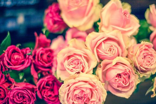 自然 植物 花 花びら バラ 薔薇 ピンク色 桃色 赤色 鮮やか 華やか 可愛い 綺麗 沢山 多い 密集 集まる 束 葉 葉っぱ 緑 加工 アップ 満開 咲く 開く 成長 育つ 無人 風景 景色 室外 屋外 幻想的
