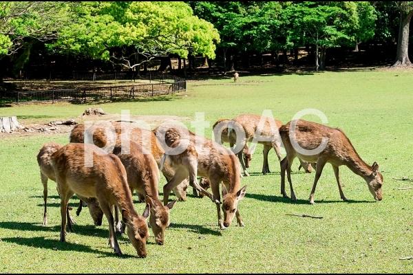 奈良の野生鹿の写真