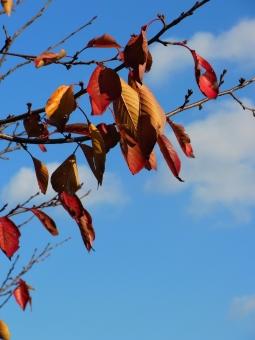 枯れ葉 木枯らし 枯れ木 茶色 青 白 青空 晩秋 冬 物悲しい 枝 背景 植物