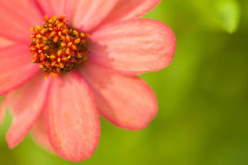秋の風景 ストロベリーチョコ コスモス アキザクラ 秋桜 一輪 花びら 花弁 アップ 接写 植物 花 草花 散歩 散策 自然 風景 景色 真心 のどか 鮮やか 美しい 綺麗 可愛い 明るい ボケ味 ピントぼけ ぼかし