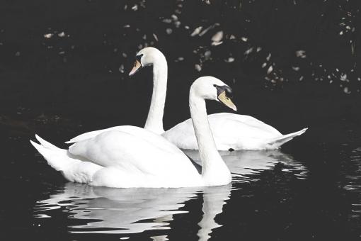 風景 自然 環境 旅行 旅 スナップ 広い 観光 散歩 リラックス 癒し 天気 動物 生き物 動物園 公園 人気 ペット ふわふわ かわいい 鳥 飛ぶ 羽 くちばし 純白 白い 白鳥 優雅 ペア つがい